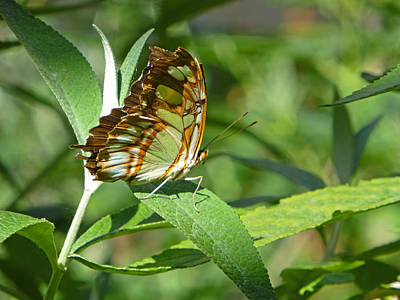 Photograph - Siproeta Stelenes Warrier by Claudia Goodell
