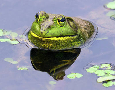 Photograph - Sir Bull Frog by Art Cole
