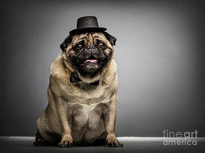 Photograph - Sir Pug Dog In A Cylinder And Bowtie. by Michal Bednarek
