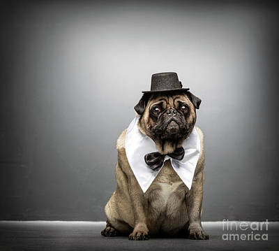 Photograph - Sir Pug Gazing Adorably. Dog Portrait. by Michal Bednarek
