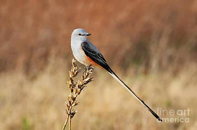 Scissor-tail Photograph - Sissor-tailed Flycatcher 2 by Betty LaRue
