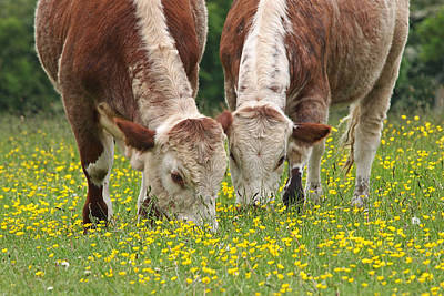 Photograph - Sisters - Brown Cows by Gill Billington