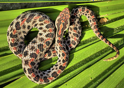 Rattle Snake Photograph - Sistrurus Miliarius Barbouri by JC Findley