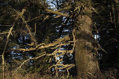 Photograph - Sitka Spruce Forest by Robert Potts