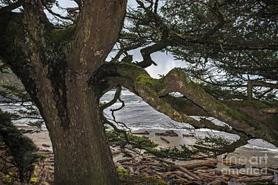 Photograph - Sitka Spruce by Robert Potts