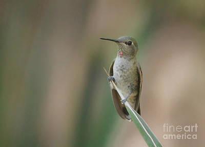 Sittin Pretty Hummingbird Art Print