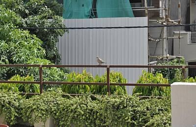 Photograph - Sitting Dove by Sumit Mehndiratta