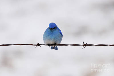 Photograph - Sitting On Barbed Wire by Alyce Taylor