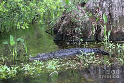 Photograph - Sitting Pretty Gator by Carol Groenen