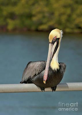 Photograph - Sitting Pretty Pelican by Carol Groenen