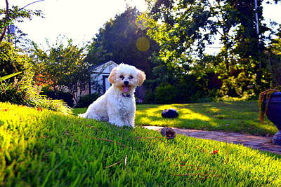 Photograph - Sitting Pretty Shih-poo by Lisa Wooten