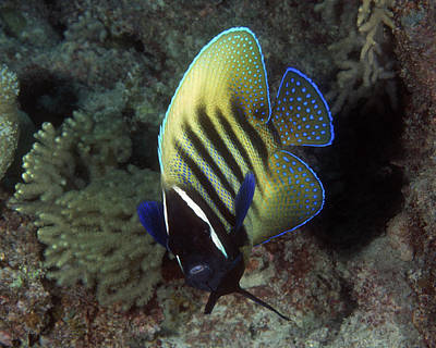 Photograph - Six Banded Angelfish, Great Barrier Reef by Pauline Jacobson