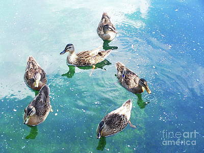 Photograph - Six Ducks Swim Together by Expressionistart studio Priscilla Batzell