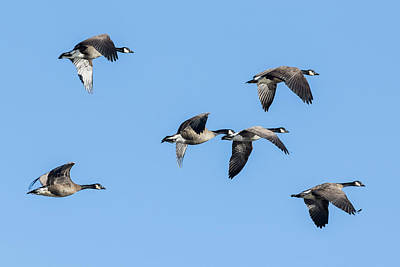 Photograph - Six Dusky Canada Geese Flying by Belinda Greb