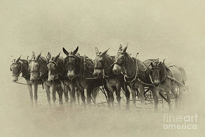 Photograph - Six Mules, And One More by Nicki McManus