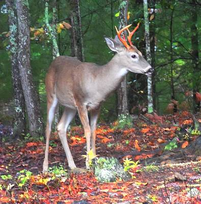 Photograph - Six Point Whitetail by Joe Duket