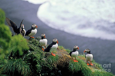 Six Puffins Perched On A Rock Art Print by Sami Sarkis
