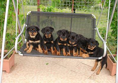 Six Rottweiler Puppies Lined Up On A Swing Art Print by Tracey Harrington-Simpson