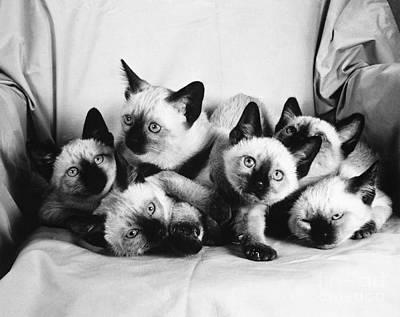 Animal Portraiture Photograph - Six Siamese Kittens by Ylla