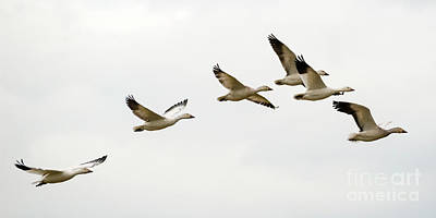 Art Print featuring the photograph Six Snowgeese Flying by Mike Dawson