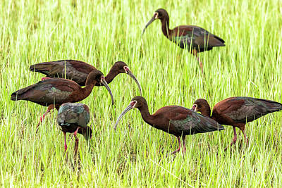 Photograph - Six White-faced Ibis In Breeding Plumage by Belinda Greb