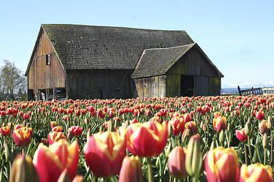 Tulips Photograph - Skagit Barn Sb5004 by Mary Gaines