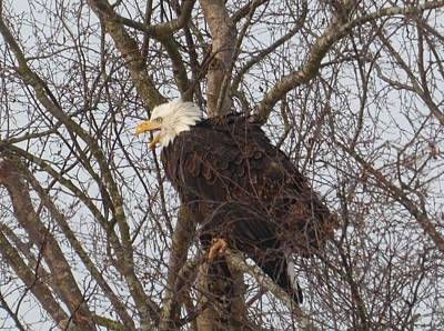 Photograph - Skagit County Eagle by Karen Molenaar Terrell
