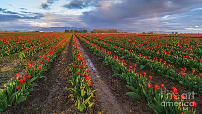 Festival Photograph - Skagit Tulip Fields Red Rows And Rainbow by Mike Reid