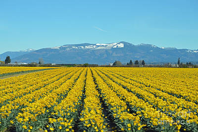 Photograph - Skagit Valley Daffodils by Carol Eliassen