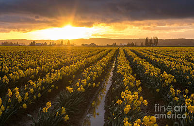 Photograph - Skagit Valley Daffodils Golden Sunset Light by Mike Reid