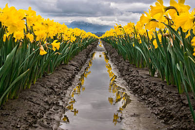 Skagit Valley Daffodils Art Print by Thorsten Scheuermann