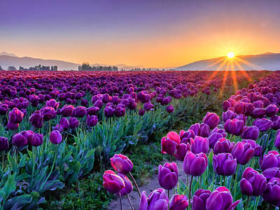 Tulip Flowers Photograph - Skagit Valley Sunrise by Kyle Wasielewski