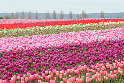 Photograph - Skagit Valley Tulip Festival by Pierre Leclerc Photography