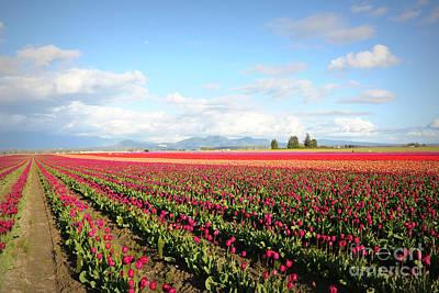 Photograph - Skagit Valley Tulip Fields by Carol Groenen