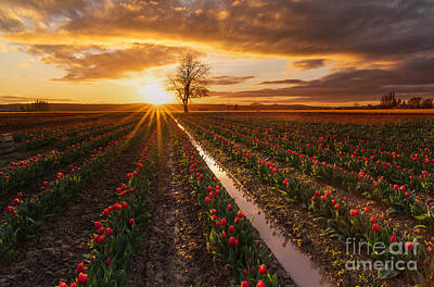 Skagit Valley Tulip Fields Golden Sunset Sunstar Art Print by Mike Reid