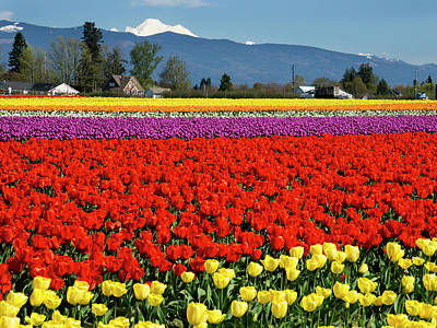 Photograph - Skagit Valley Tulip Fields by Inge Riis McDonald