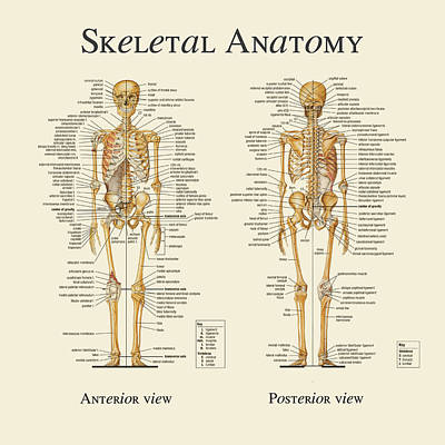 Anatomy Mixed Media - Skeletal Anatomy by Gina Dsgn