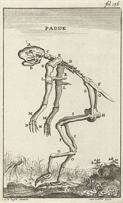 Drawing - Skeletal Tailless Amphibians Toad by R Muirhead Art