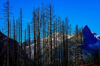 Photograph - Skeletal Tree Stand, Glacier National Park by Marilyn Burton