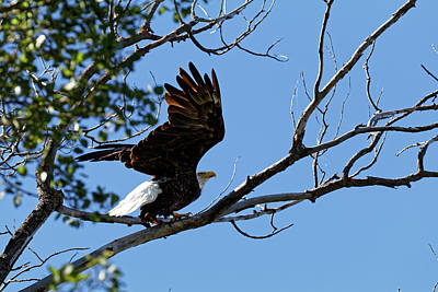 Photograph - Skeleton Lake Eagle by Darcy Michaelchuk