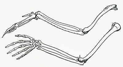 Human Skeleton Drawing - Skeleton Of A Bird S Wing And Of A Man by Vintage Design Pics