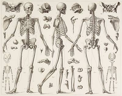 Human Skeleton Drawing - Skeleton Of A Fully Grown Human, After by Vintage Design Pics