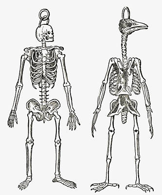 Skeletons Of A Man And A Bird Drawn To Art Print by Vintage Design Pics