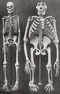 Human Skeleton Drawing - Skeletons Of Man, Left, And Gorilla by Vintage Design Pics