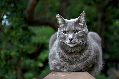 Chartreux Wall Art - Photograph - Skeptical Grey Cat by Sheila Fitzgerald