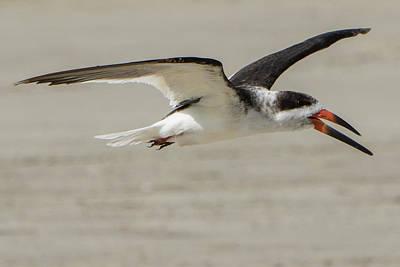 Black Skimmers Photograph - Skimmer Flight by Jurgen Lorenzen