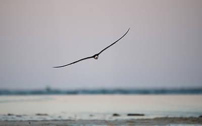 Photograph - Skimmer In Flight by Melinda Dreyer