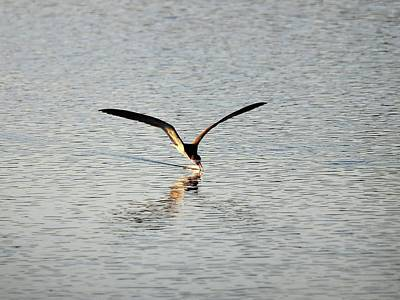 Skimmer Skimming Art Print by Al Powell Photography USA