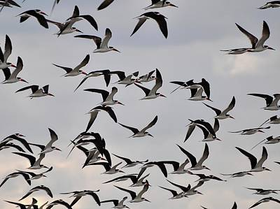 Black Skimmers Photograph - Skimmer Sky by Al Powell Photography USA