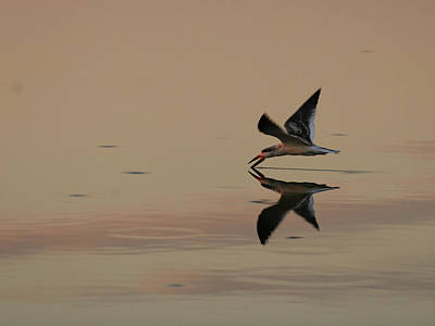 Photograph - Skimming A Sunset by Charles McKelroy